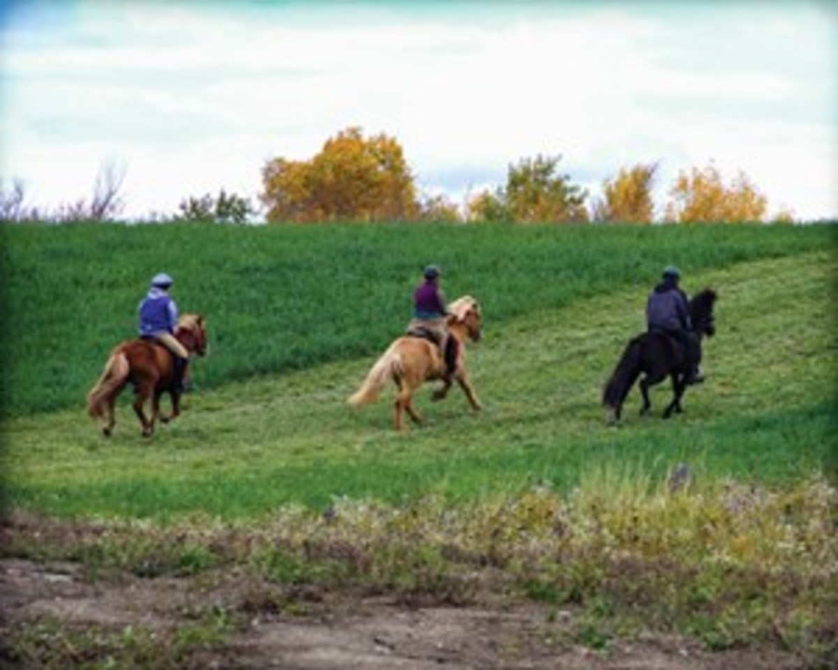 Credit: Andrea Barber Properly condition your gaited horse. An out-of-shape, fatigued, muscle-sore horse is likely to drag his toes, avoid raising his feet high enough to clear obstacles,  stumble, and be inattentive. Shown are well-conditioned Icelandic Horses.