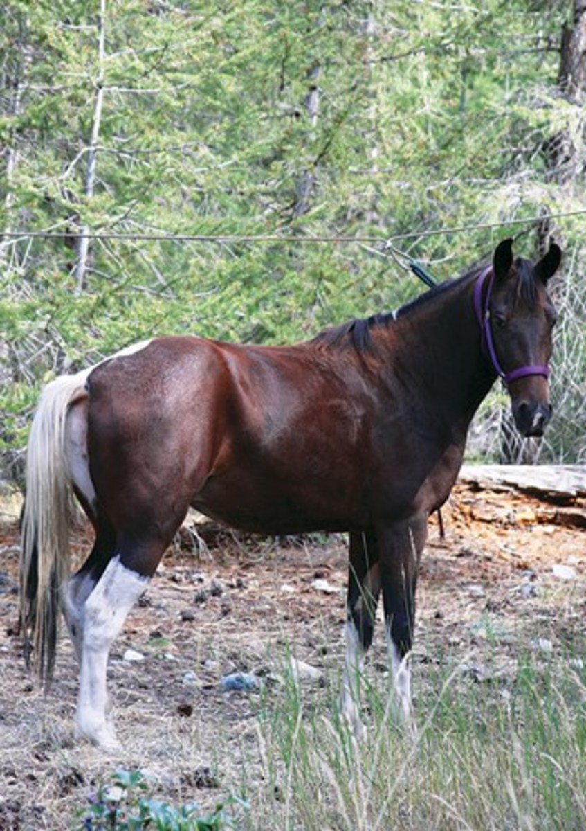 "Credit: William J. Erikson ""Consider a smooth-gaited horse,"" advises Dan Aadland. ""The twobeat trot creates more concussion than the four separate footfalls of a running walk, foxtrot, or amble."" Shown is a double-registered Tennessee Walking Horse/Spotted Saddle Horse."