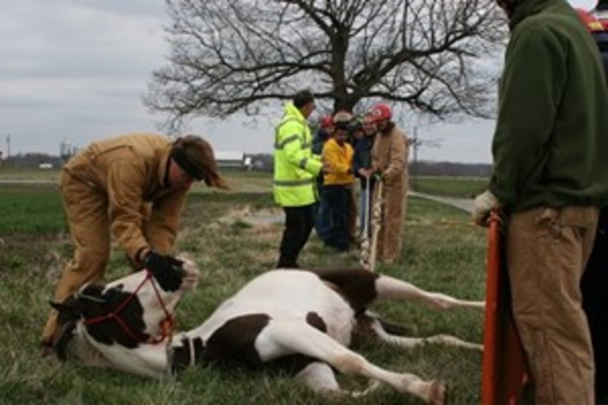 Credit: PHOTO COURTESY OF TLAER Consider signing up for a Technical Large Animal Emergency Rescue Awareness Level Course. If you know what to do in the first few minutes of an emergency, you can potentially save your horse's life. Shown is a horse trained to be a rescue-training animal.