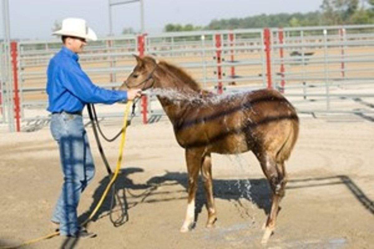 When your horse is comfortable around the water, start spraying water in the middle of his back.