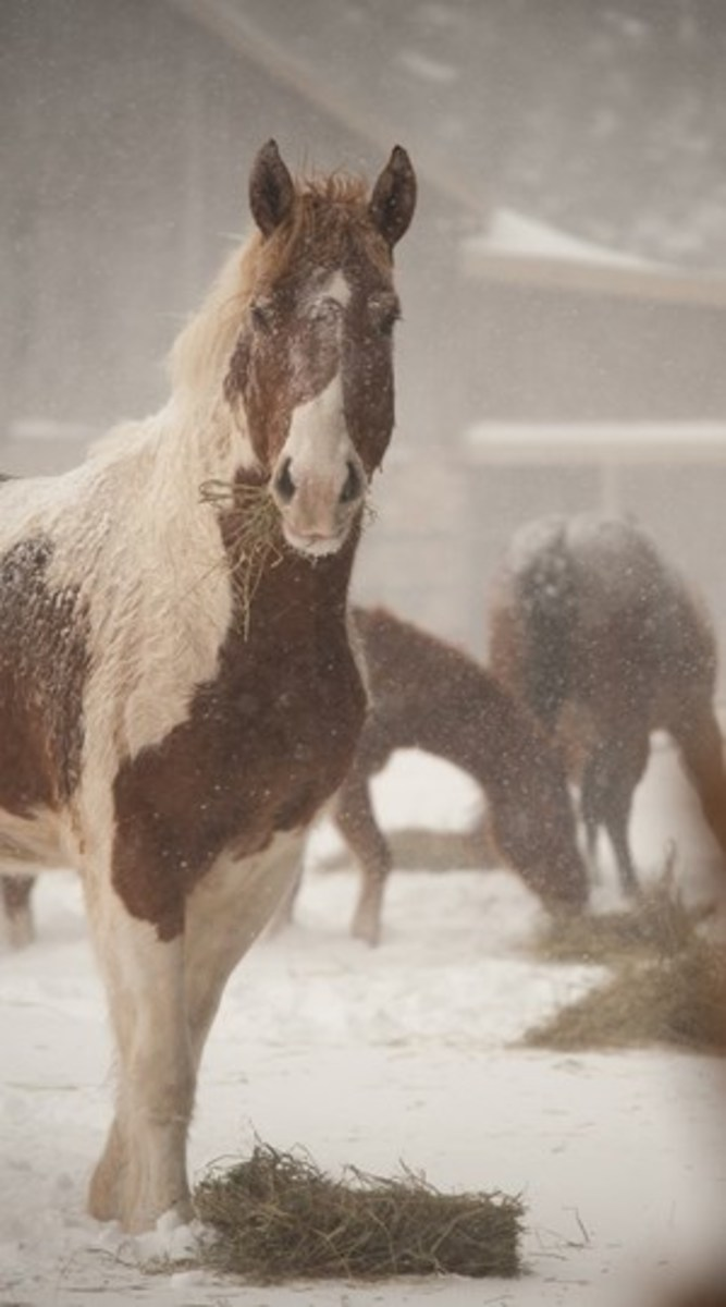 Credit: CLIXPHOTO.COM  Horses are designed to heat themselves through the digestion of forage (hay or pasture) in the hindgut. A plentiful supply of good hay is your horse's best defense against cold.