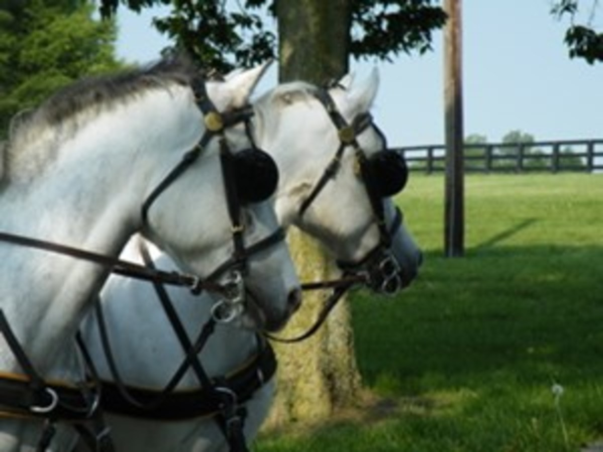 USRider Member Kristin S. hauled her new team of ponies from her home in Ohio to the Carriage Round Up at the Kentucky Horse Park, as she knew it would be a good experience for them.