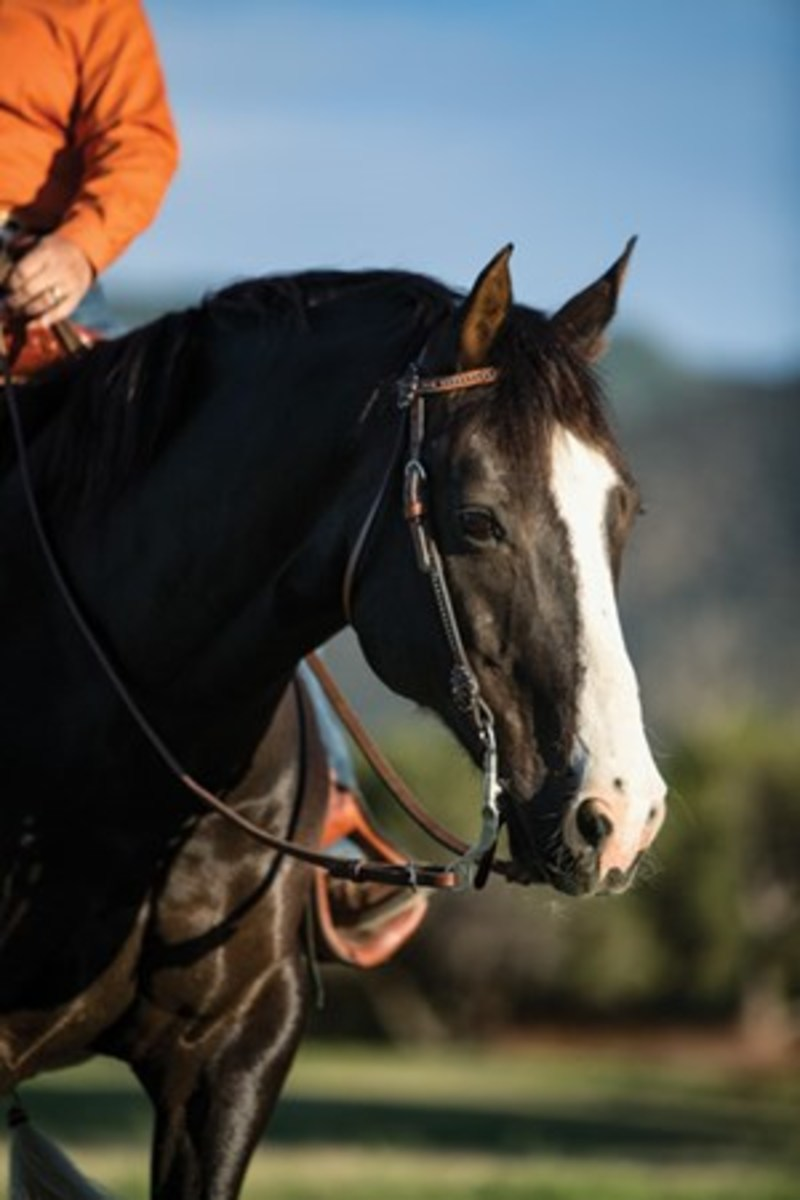 Leather split reins are long and versatile, and recommended for ground-tying. But some riders find them cumbersome, and they can be easily dropped. (Note the leather-to-metal connection at the bit, rather than a metal snap, which would annoy your horse.)